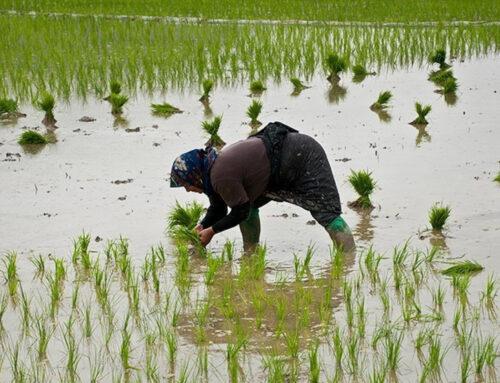 انواع برنج شمال ایران